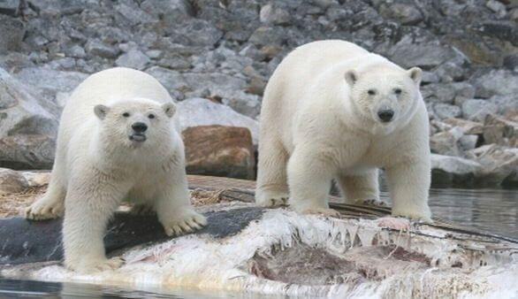 Tierwelt Spitzbergens